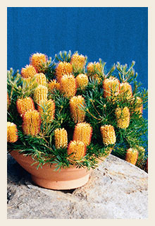 banksia-birthday-candles-in-pot-200x300