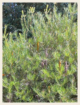Banksia-spinulosa-320x420
