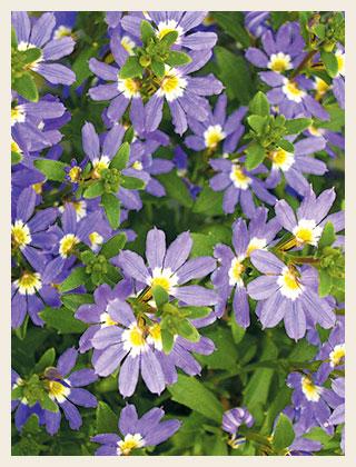 Fan-flower-purple2