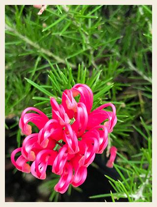 Grevillea-scarlet-sprite-300x400