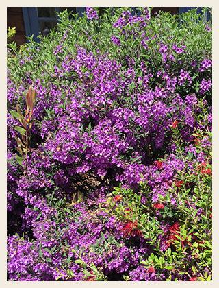 Prostanthera-ovalifolia-compacta-320x420