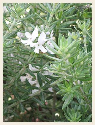 Westringea-fruiticosa-320x420
