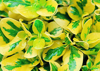 Coprosma Green & Gold