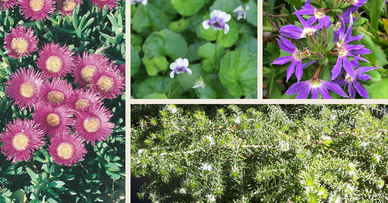 An assortment of Australian native groundcover plants, each with colourful blooms and green foliage.