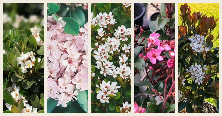 A selection of Rhaphiolepis flower images with pink and white blossoms and green foliage.