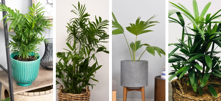 A selection of versatile palms potted up for indoor growth.