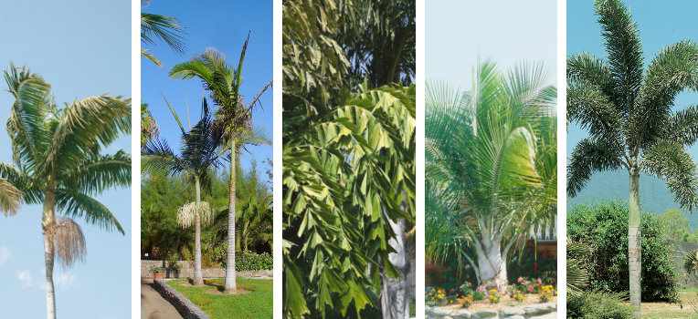 A series of images of outdoor palm trees showcasing their varying foliage and trunk shapes.