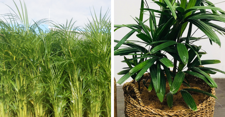 Left: A mass of Golden Cane Palms. Right: a Rhapis Palm in a planter basket.
