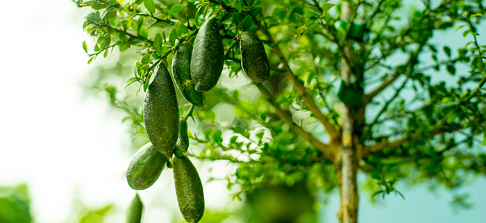 Several finger limes growing on a tree