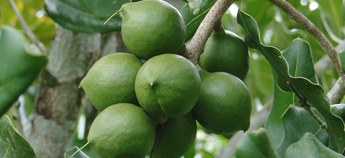 The green fruits of the macadamia tree. The well-known brown nuts are inside these fruits.