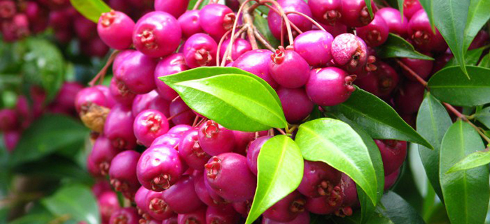 The brightly-coloured berries of the lilly pilly