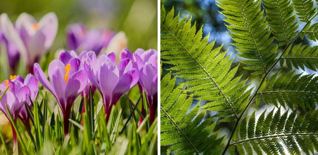 Beautiful purple crocuses in bright sunlight along a fern frond with a rainforest canopy visible in the background.