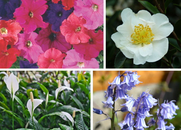 Clockwise from top left: Petunia summer sunset, camellia sasanqua setsugekka, bluebell and spathiphyllum (peace lily).